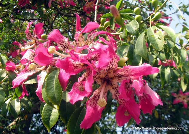 Floss silk tree budha budha tree mightylinksfo