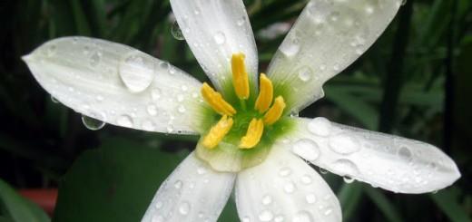 zephyranthes-candida2