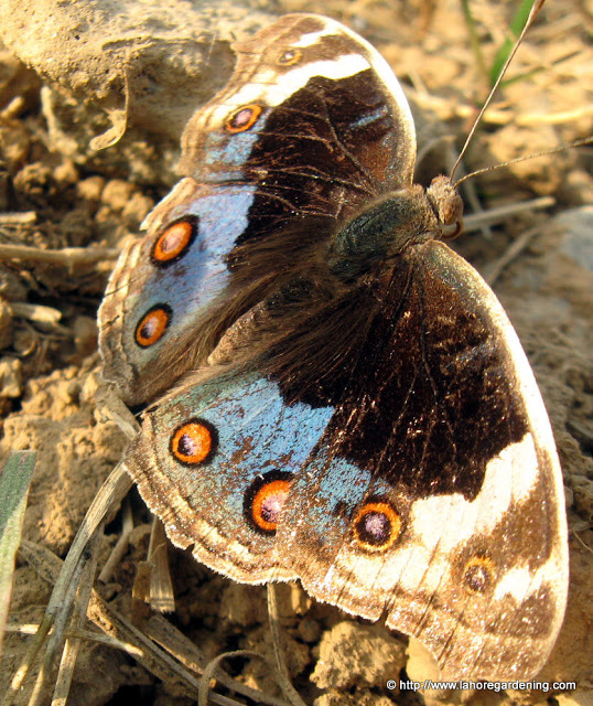 Blue Pansy butterfly Blue argus