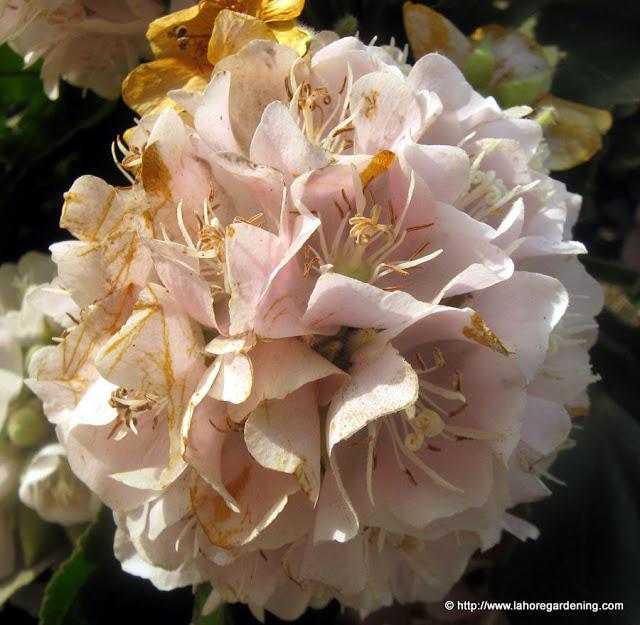 dombeya dark pink