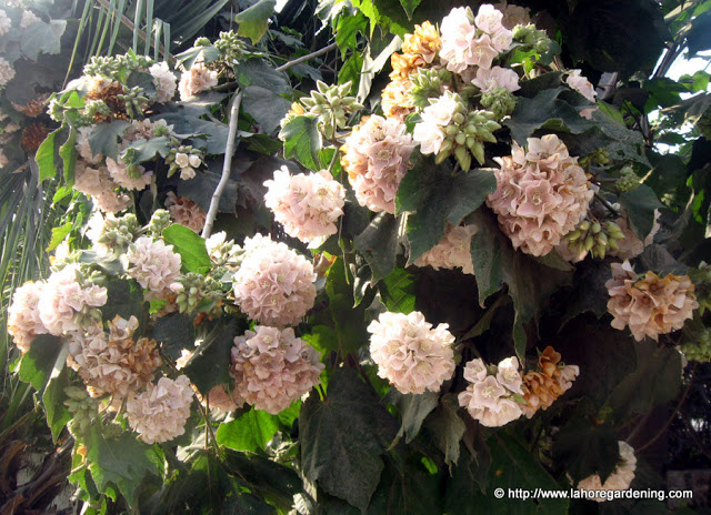 dombeya fragrant