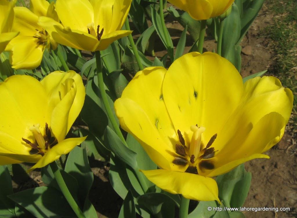 golden parade tulip closeup