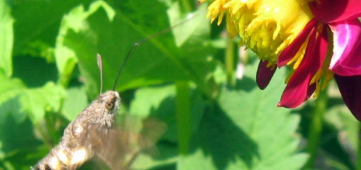 hummingbird-moth2