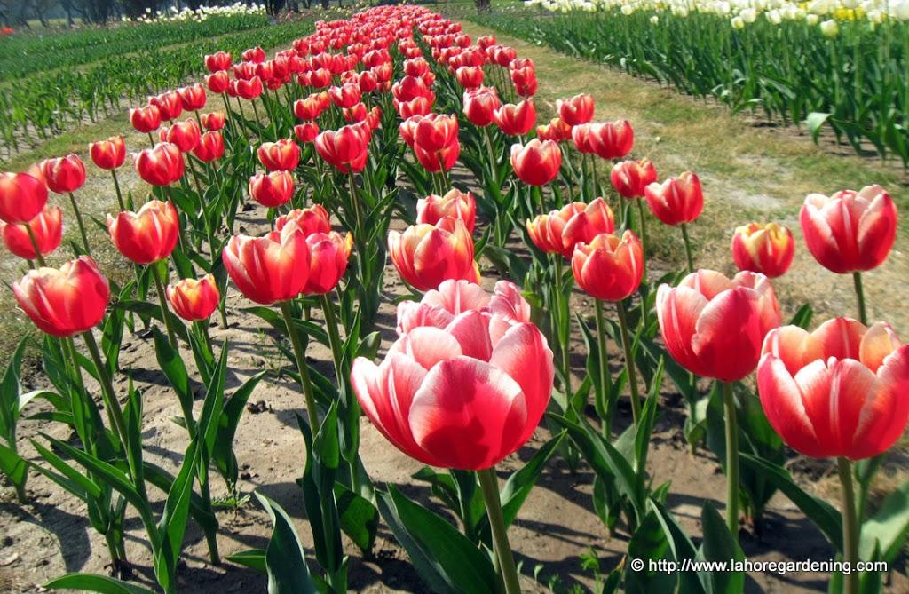 Leen van der mark Tulip