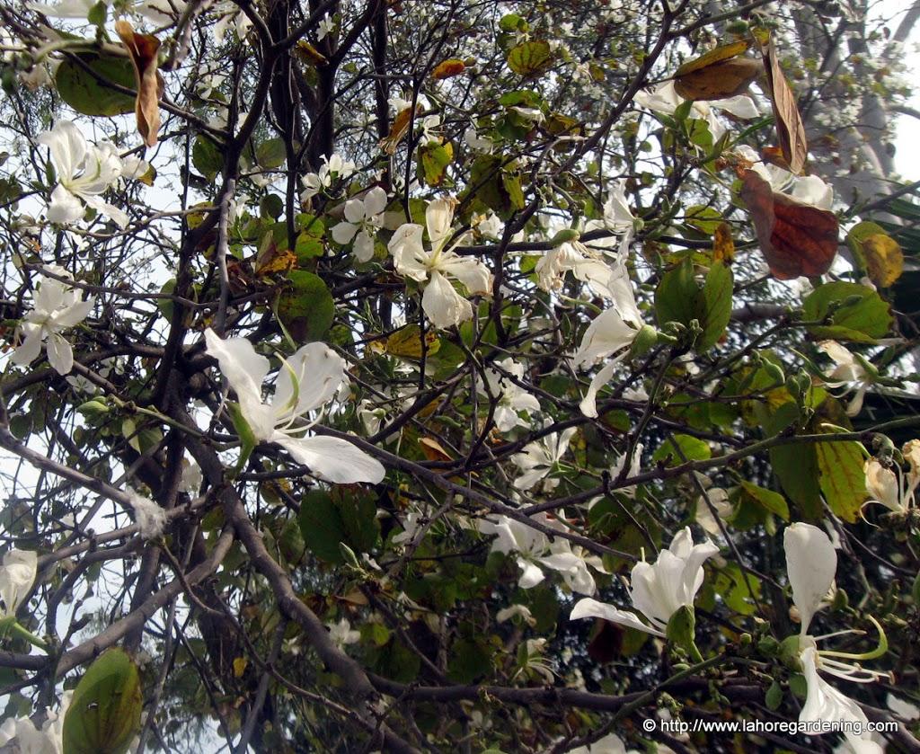 bauhinia purpurea alba