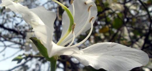 bauhinia-purpurea-alba2