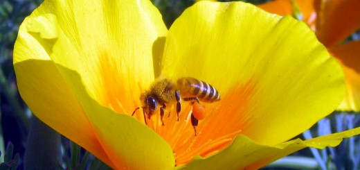 bee-on-california-poppy4