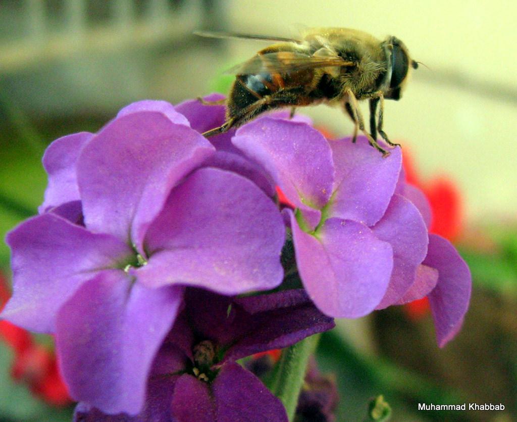 bee on stock flower