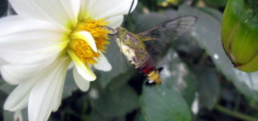 hummingbird-moth-on-dahlia2