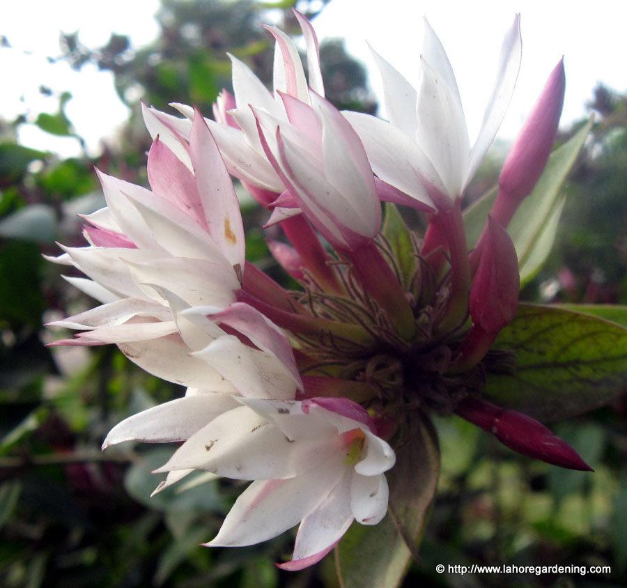 jasmine closeup