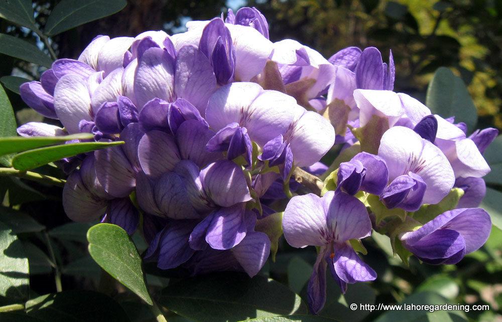 sohpora secundiflora