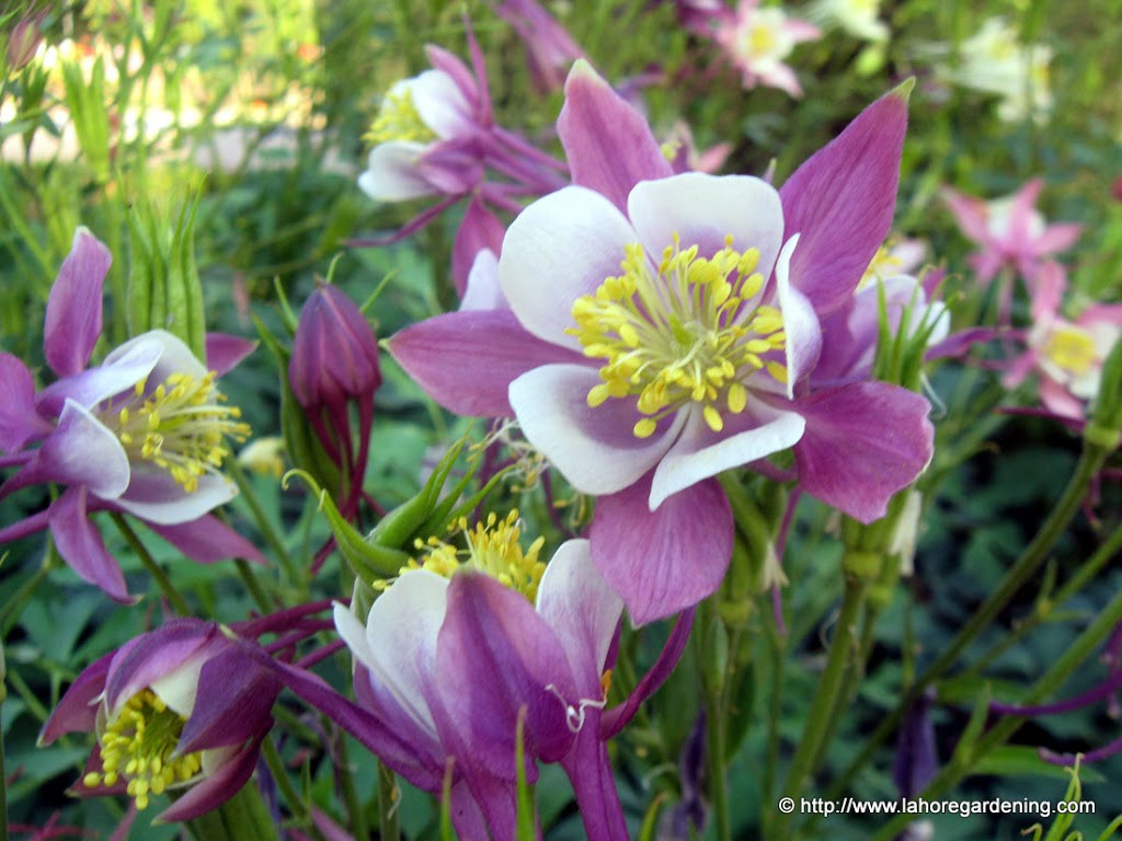 Spring flowers of aquilegia beaumontia gardenia and thunbergia izmirmasajfo