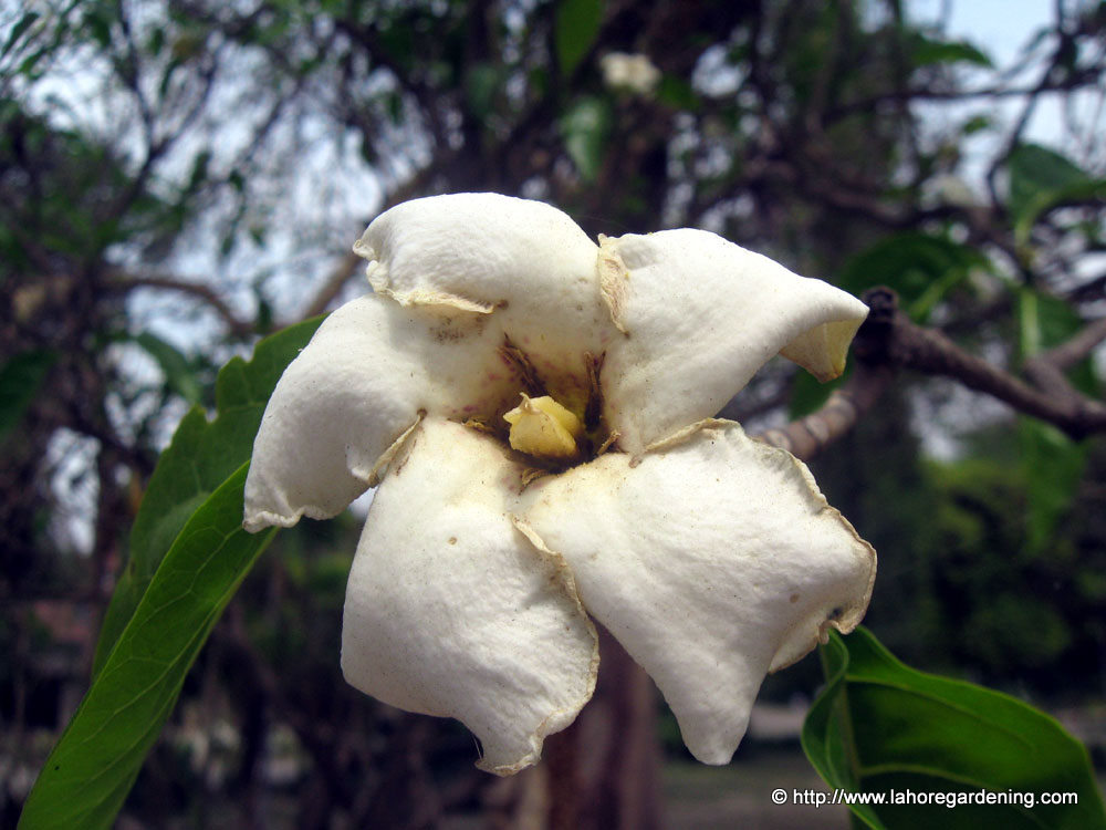 gardenia lucida