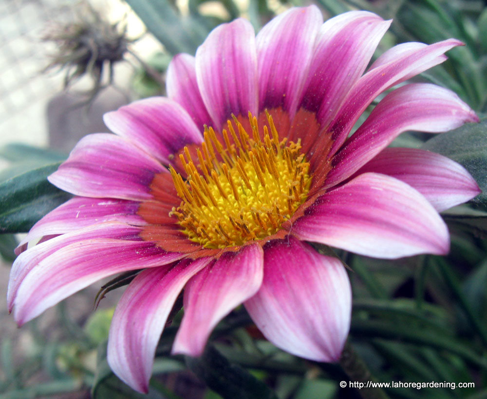 gazania flowering in lahore heat
