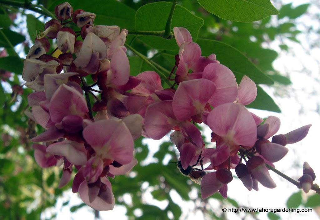 millettia ovalifolia, villayti shisham
