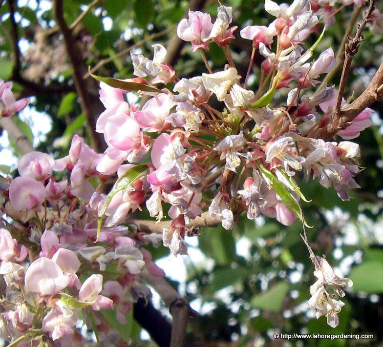 shesham tree millettia pinnata