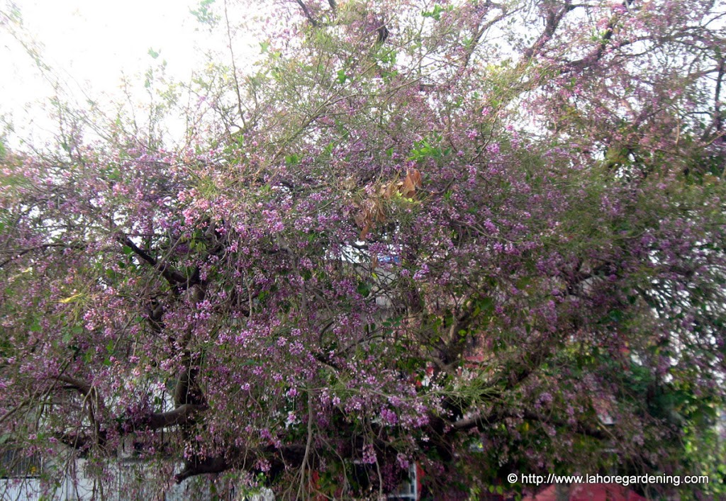 villayti shisham ,millettia ovalifolia