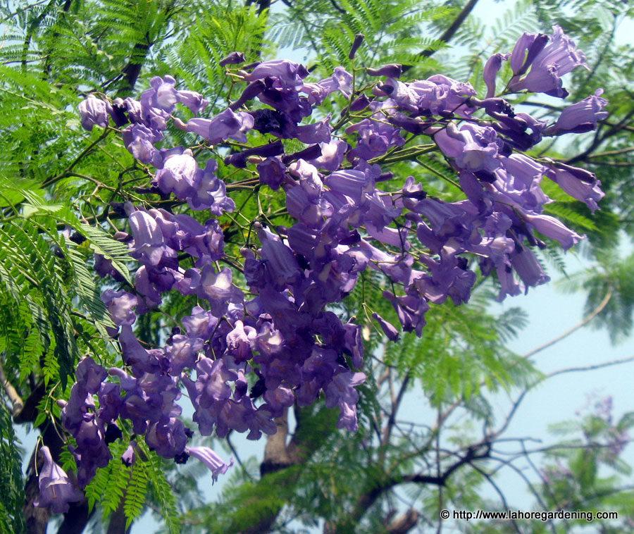 jacaranda mimosifolia neelam tree flower