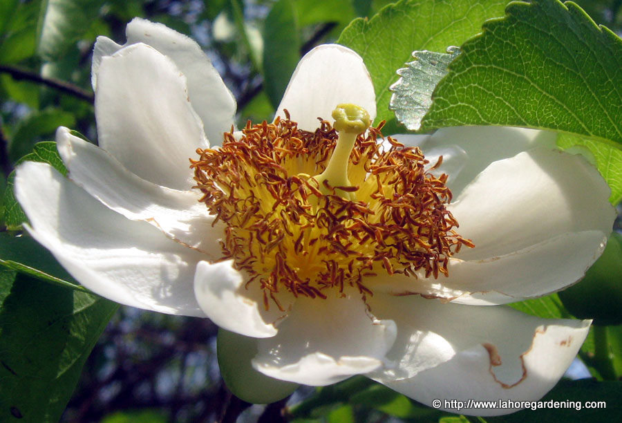oncoba spinosa tree flower fried egg