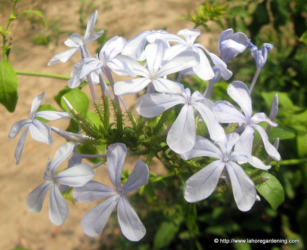 plumbago capensis flower summer heat south africa