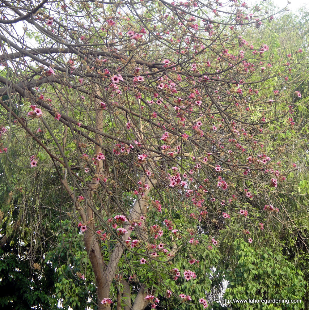 brachychiton diversifolius blooming in lawrence garden lahore