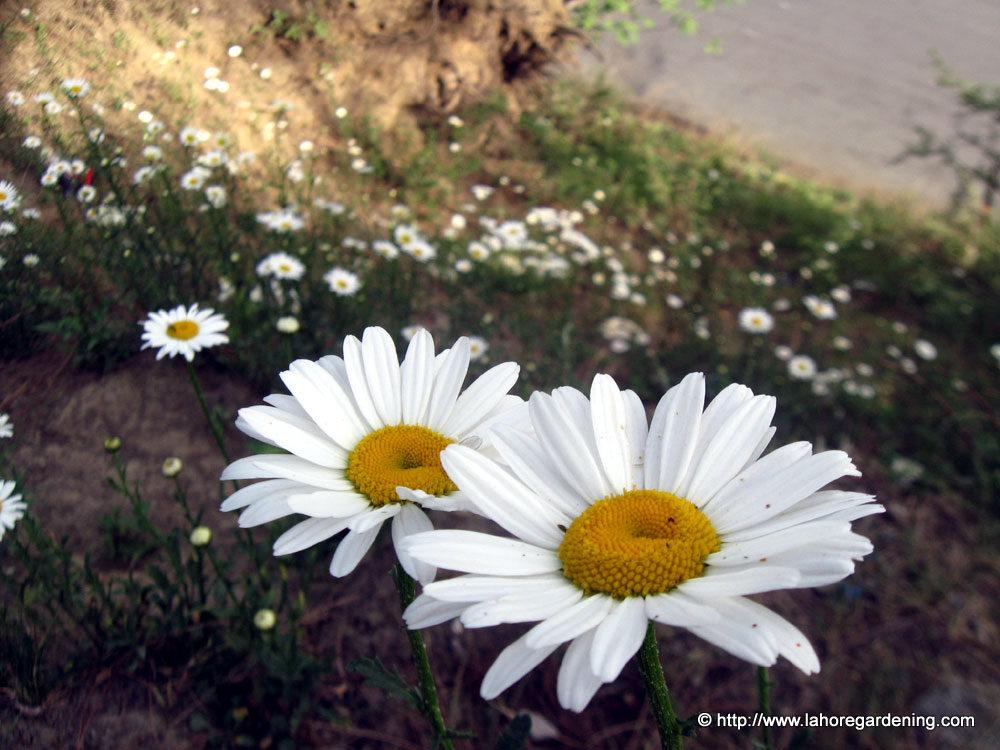 leucanthemum daisy
