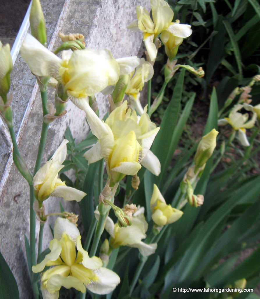 Flowers of murree hills nathia gali yellow iris izmirmasajfo Images