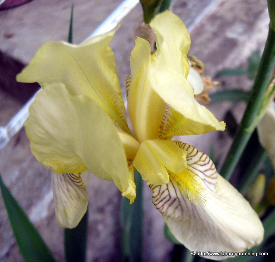 dutch iris perennial