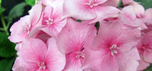 pinkn-hydrangea-12