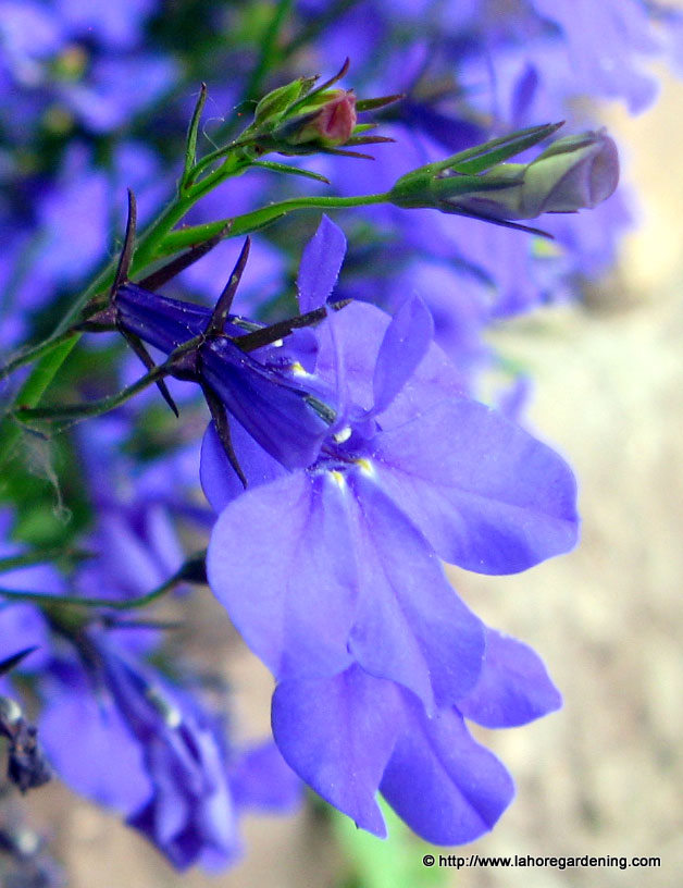lobelia flower