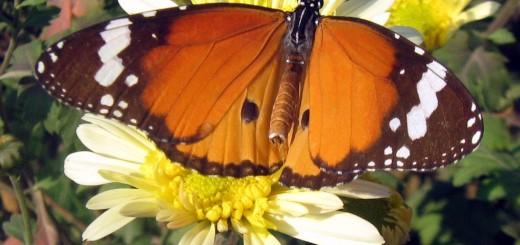 plain-tiger-buttefly2