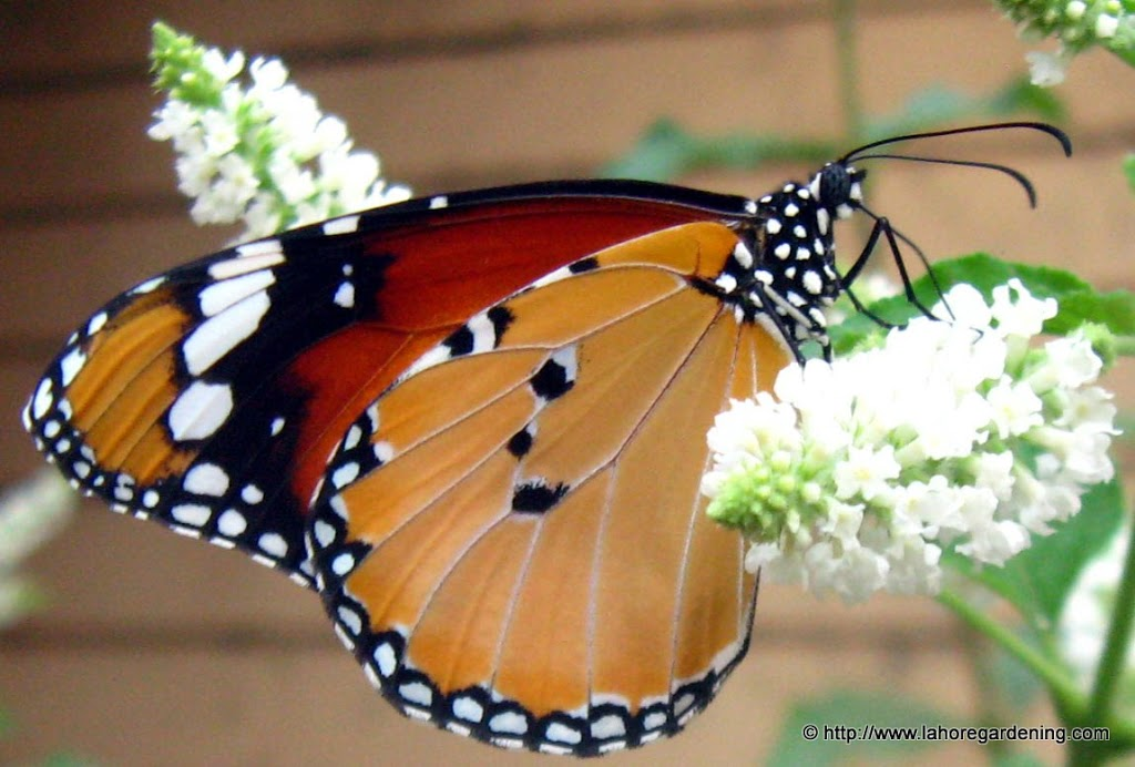 Butterflies of Lahore ...