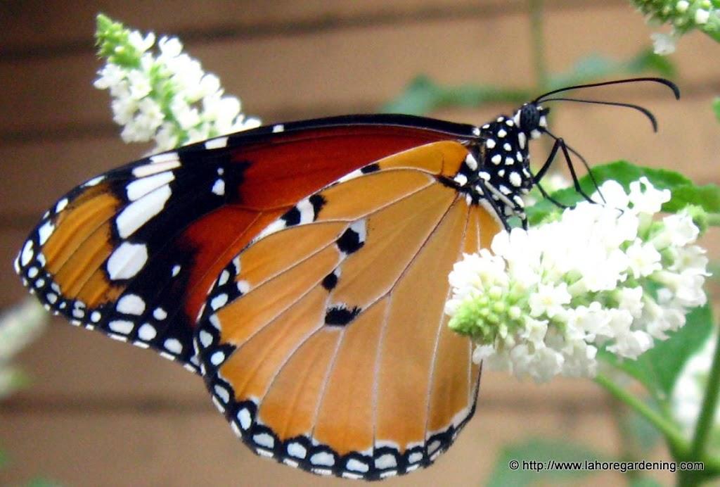 Danaus chrysippus butterfly
