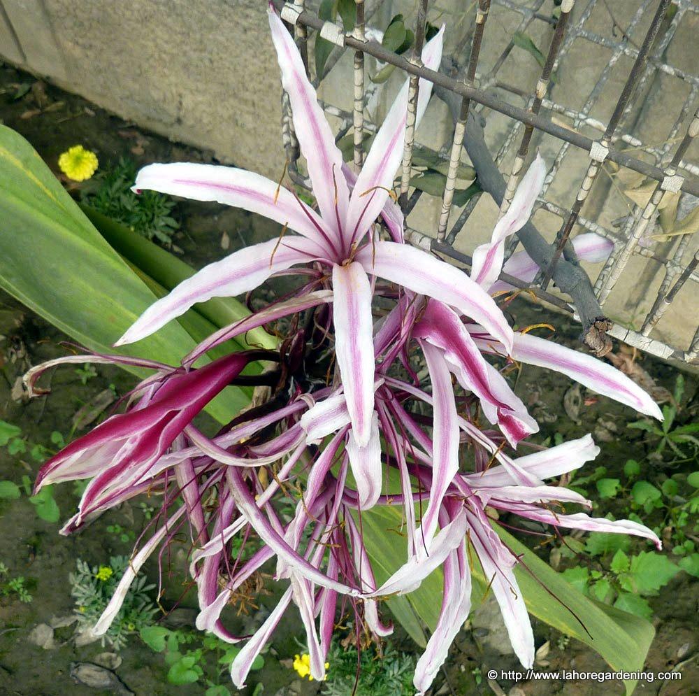 crinum amabile flower