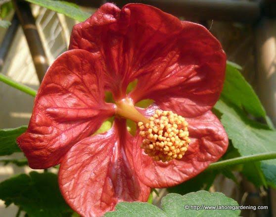 abutilon flower red