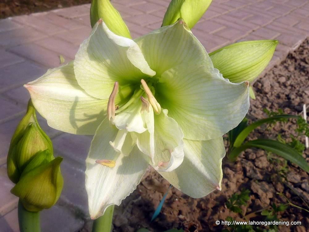 amaryllis hippeastrum lime