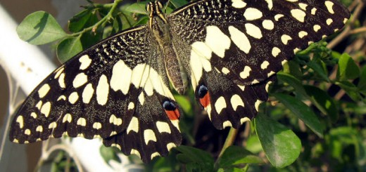 butterfly-on-muraya2