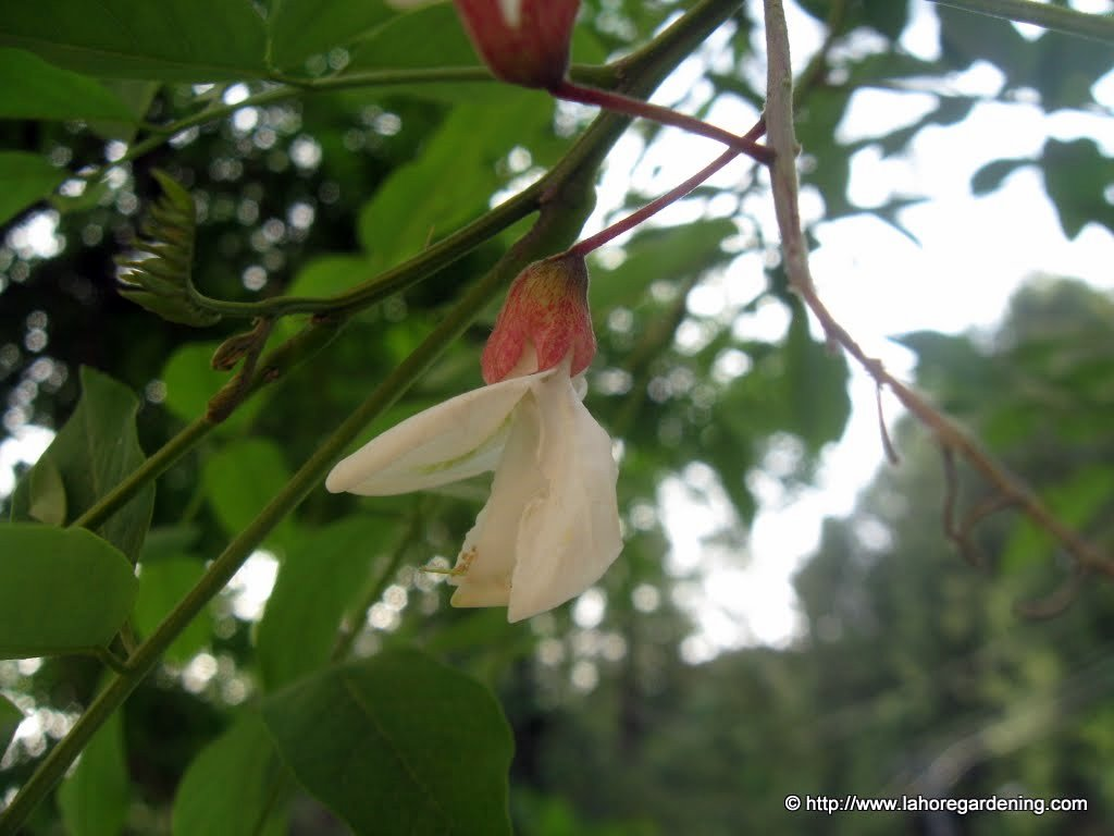 robinia tree flower