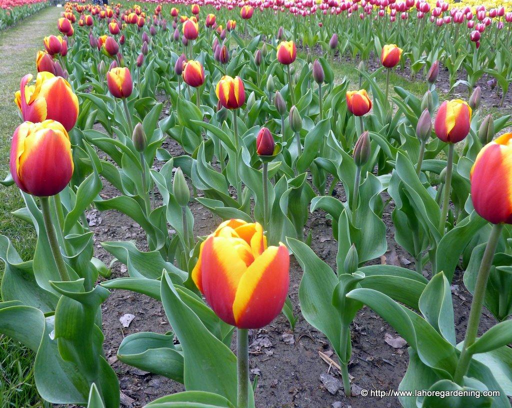 tulipa Gerrit Van Der Valk