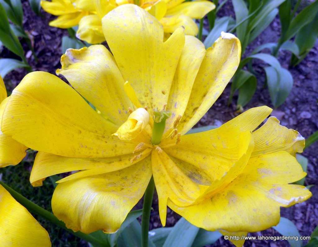 hybird tulip yellow king