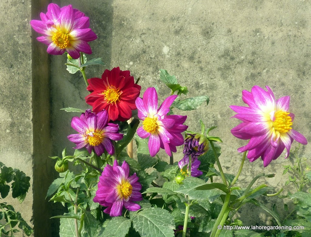 semi double dahlia in container