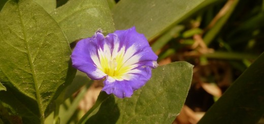 Dwarf morning glory
