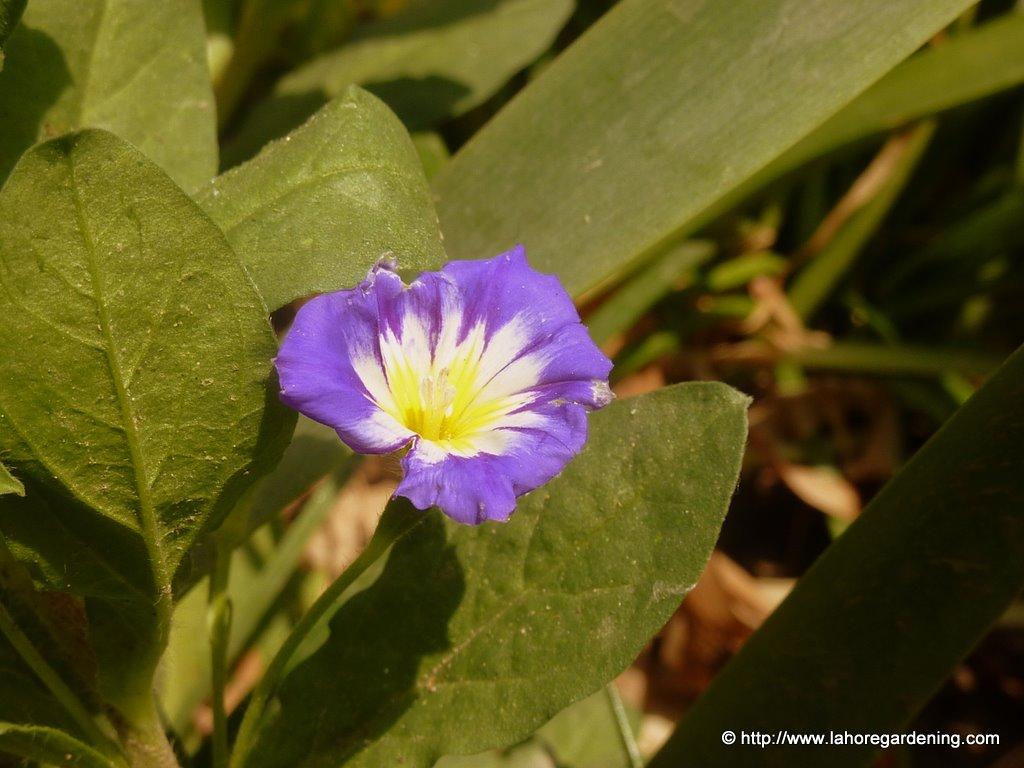 dwarf morning glory convolvulus tricolor