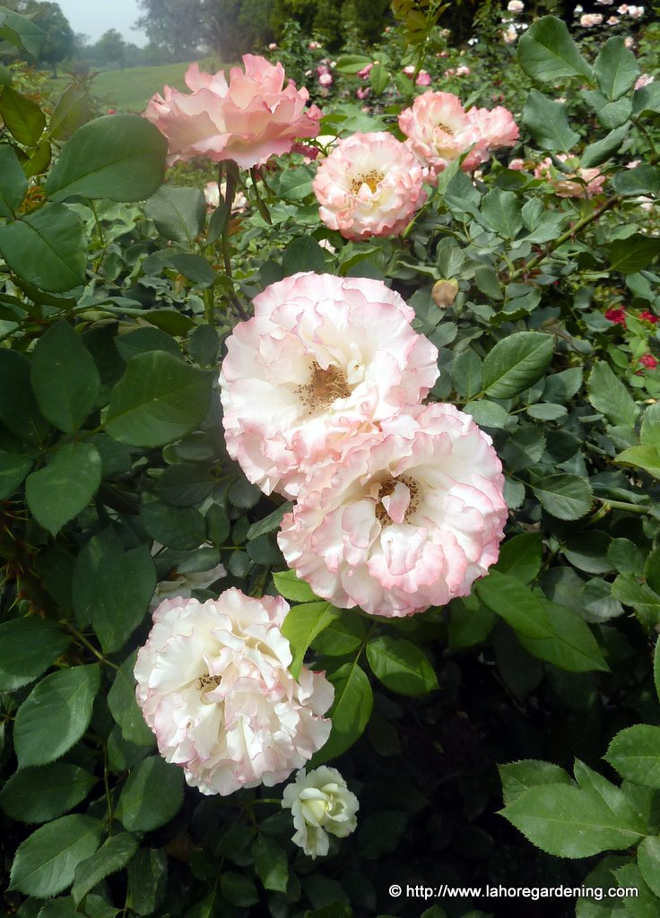 delany sisters rose