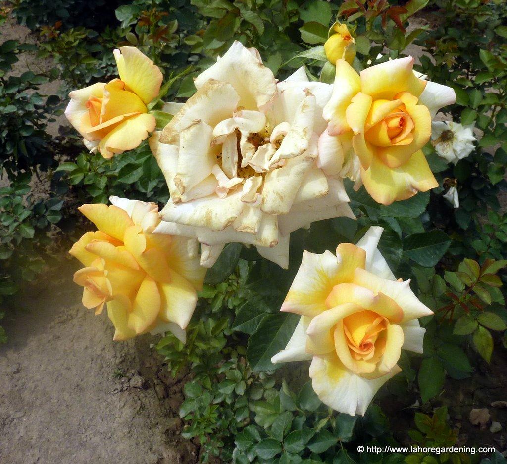rose lahore