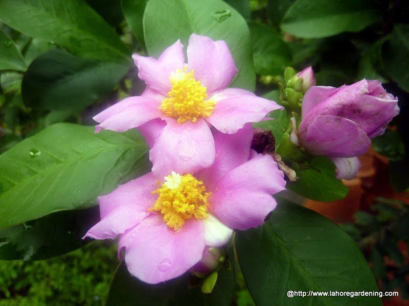 rose cactus Pereskia grandifolia