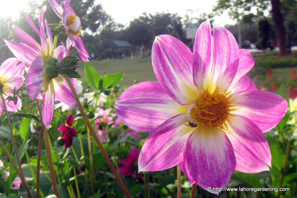 Winter and spring flowering annuals dahlia mightylinksfo