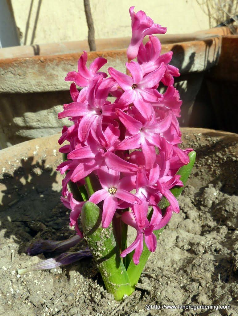hyacinth bulb hyacinth flower