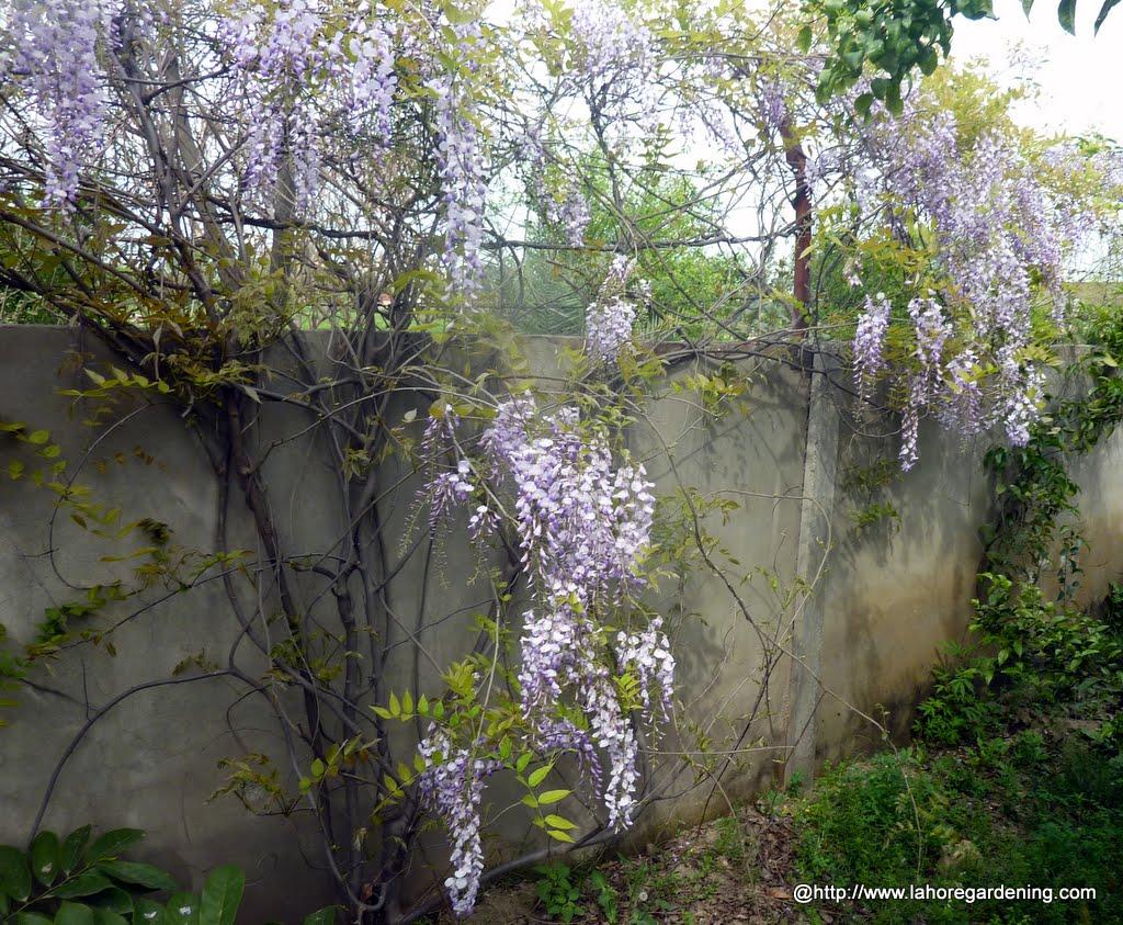wisteria climber