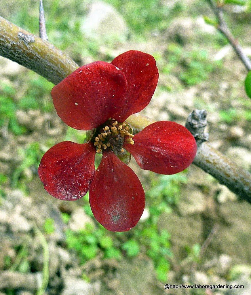 cydonia flower